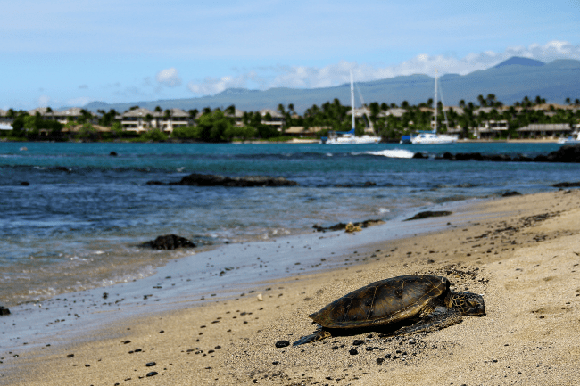 turtle-hawaii-vacation